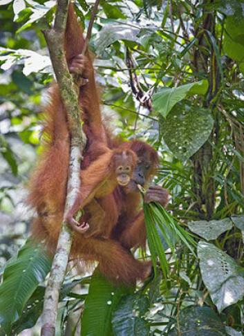 Orangutangens genom er kartlagt. (Foto: Perry van Duijnhoven/Carel van Schaik)