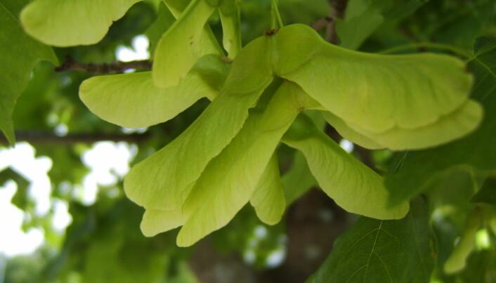 Lønnefrø før de har løsnet fra treet. Vingene gjør at de kan rotere og holde seg i lufta en stund.