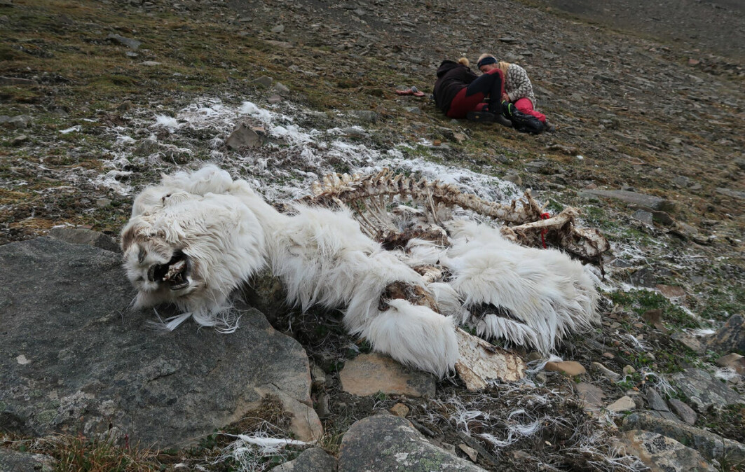 Eit reinkadaver på Svalbard frå vinteren 2019/20. Bak ser du botanikarane Mie Pirk Arnberg og Rakel Blaalid som førebur vegetasjonskartlegging.