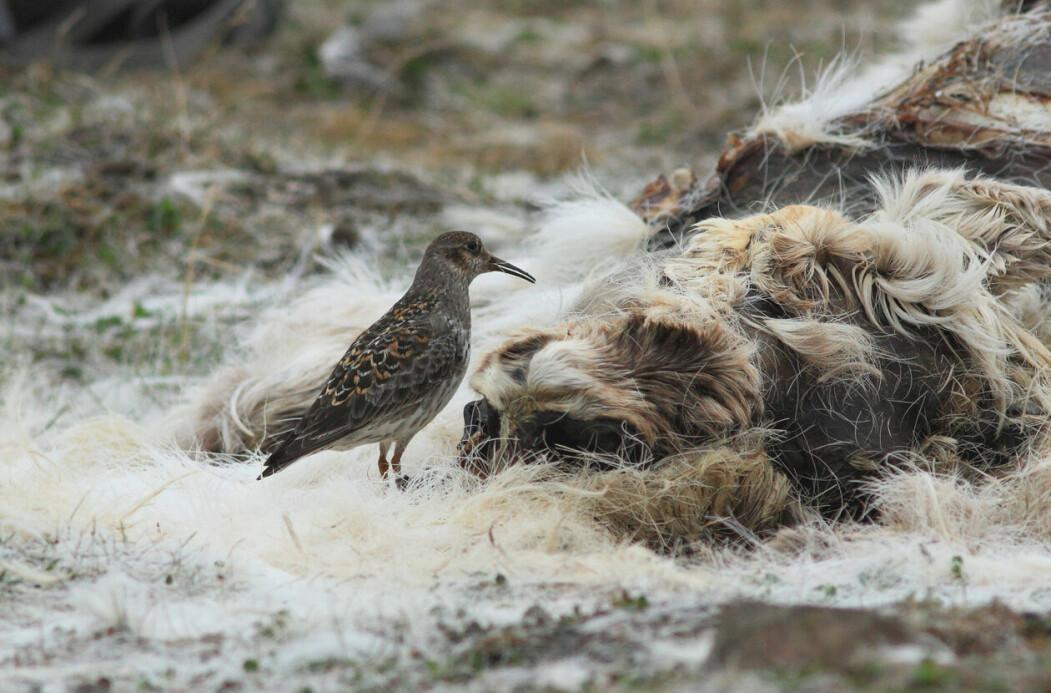 Ein fjæreplytt oppsøker eit kadaver for å ete insekt. Eit kadaver kan gi god tilgang på næring i ein kort og hektisk sesong for fuglar som hekker på den arktiske tundraen.