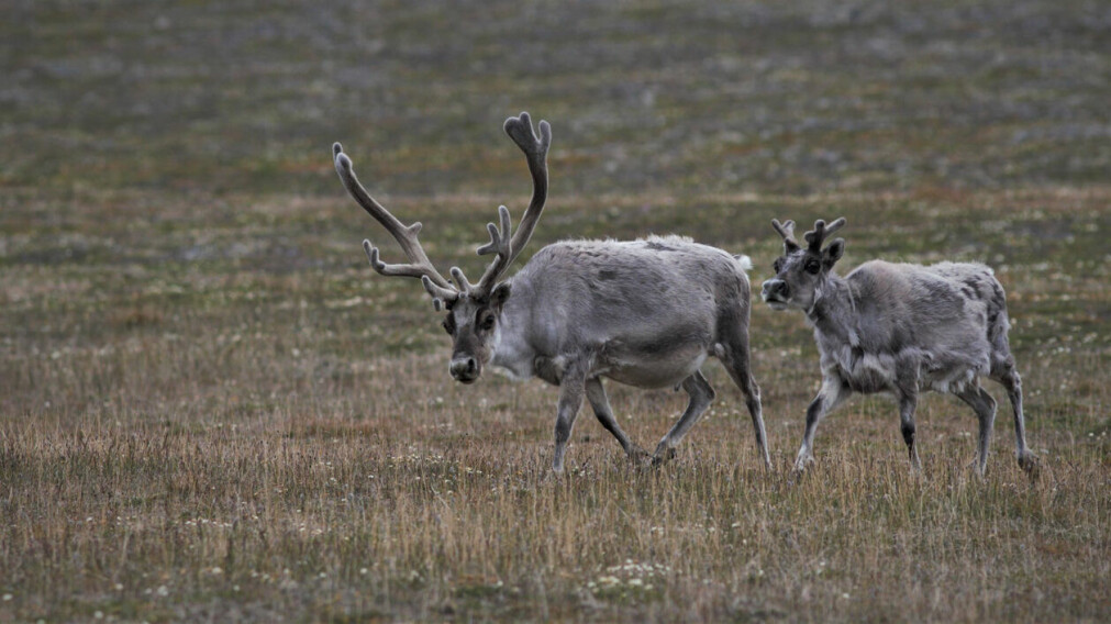 Svalbardrein er tilpassa den arktiske tundraen med ei kompakt kroppsbygning med korte bein, kort snute, rundt hovud og små øyrer. Dei har også ein svært tykk vinterpels samanlikna med reinen som lever på fastlandet.