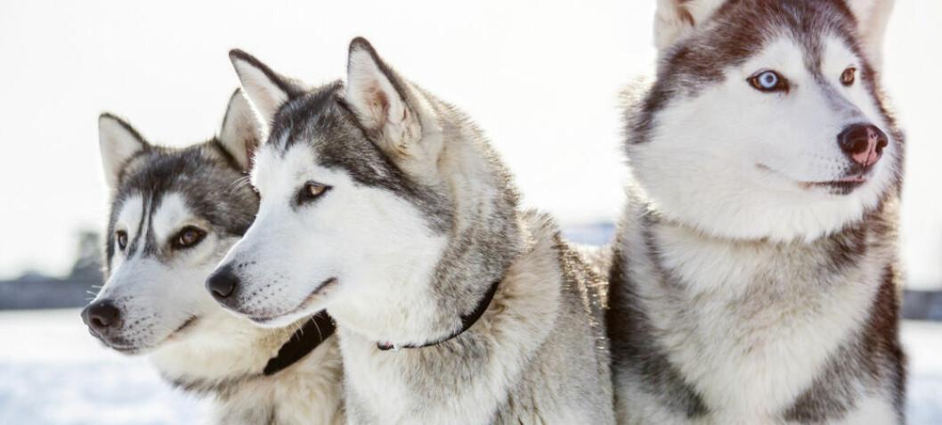 For tusenvis av år siden var hunder så verdifulle at de ble solgt til fjerne folkeslag