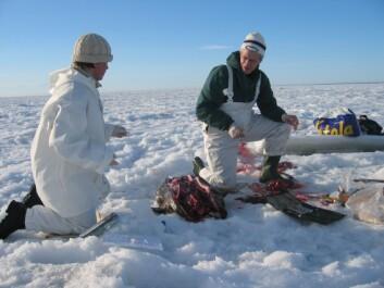 Heli Routti finn i avhandlinga si at giftige metabolittar blir danna i større grad hjå ringsel frå Austersjøen enn i ringsel frå Svalbard. (Foto: Heli Routti)