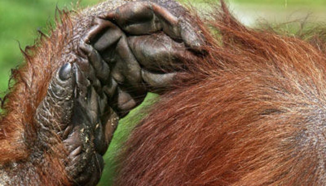 Orangutang. (Foto: Colourbox)