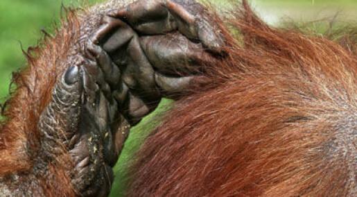 En orangutang i oss alle