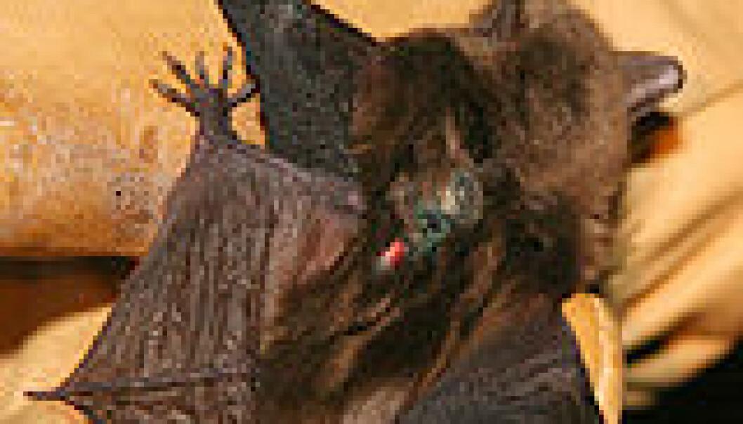 """""""Den nordamerikanske serotine-flaggermusen, merket og klar til å bli forvirret av forskerne. Foto: Martin Wikelski."""""""