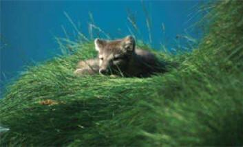 """""""Igjen er det funnet rabies i fjellreven på Svalbard."""""""