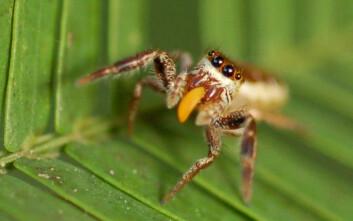En voksen hunn av edderkopparten Bagheera kiplingi spiser toppene av blad fra akasie-busker befolket av maur. (Foto: R. L. Curry)