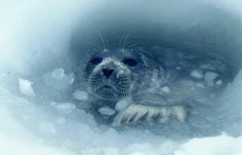 Ringsel. (Foto: Christian Lydersen / Norsk Polarinstitutt)