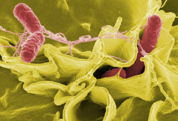 Fargeforsterket bilde av bakterien Salmonella typhimurium som invaderer menneskeceller. (Foto Rocky Mountain Laboratories/ National Institutes of Health/ Wikimedia Commons)