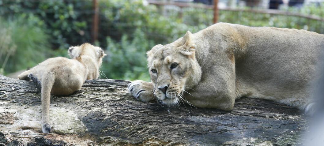 Forskere: Afrikas store kattedyr er nærmere utrydding enn vi tror