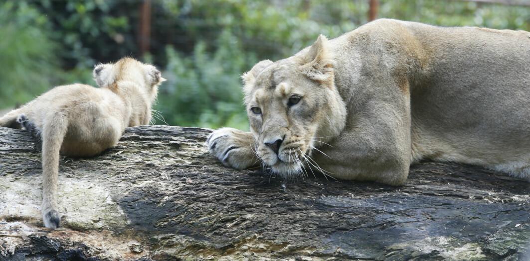 Naturvernere jobber med å gi løver status som utrydningstruet.
