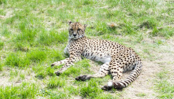 Det er få geparder igjen i villmarken. Denne lever i dyreparken i Kristiansand.