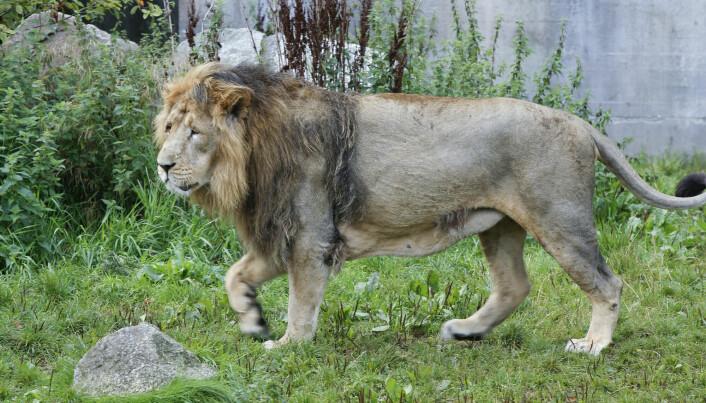 Løvehannen blir større enn hunnen og har en stor manke.