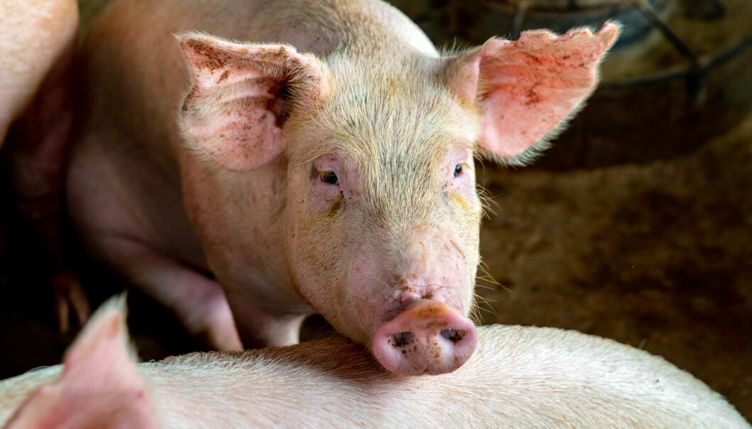 Veterinærinstituttet overvåker antibiotikaresistens i mikrober fra fôr, dyr og næringsmidler.