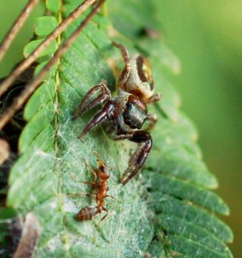 En voksen hunn av Bagheera kiplingi forsvarer sitt område når en patruljerende maur på akasia-busken nærmer seg. (Foto: R. L. Curry)