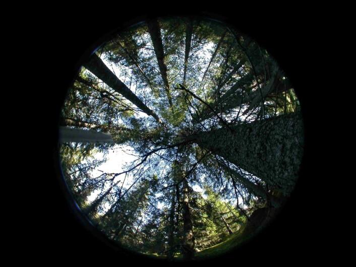 """Gammelskogen er helt vesentlig for svært mange rødlistede arter. Samtidig gir skogen intense naturopplevelser og god rekreasjon. Bildet er et såkalt """"hemiview"""", en teknikk som brukes for å måle biologisk tilgjengelig lys på et gitt punkt i skogen. Her fra gammelskog i Siljan kommune. Foto: Marit Helene Lie"""