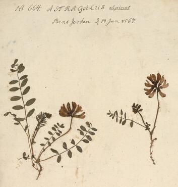 Nordlig setermjelt (Astragalus alpinus/ ssp. arcticus) fra Gunnerusherbariet. (Foto: NTNU Vitenskapsmuseet)
