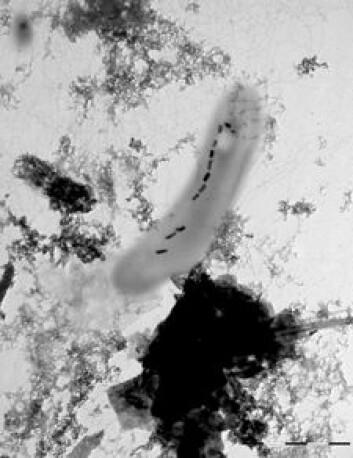 Magnetotaktiske bakterier produserer det sterkeste naturlige magnetmineralet som finnes, magnetitt. Magnetitt kan brukes til å rekonstruere retningen og styrken på jordens magnetfelt bakover i geologisk tid. (Foto: Mikal Heldal, UiB)