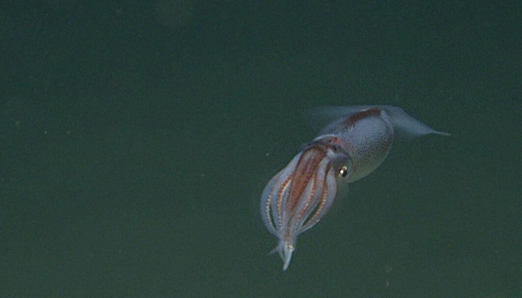 En liten blekksprut med det latinske navnet Cephalopoda.