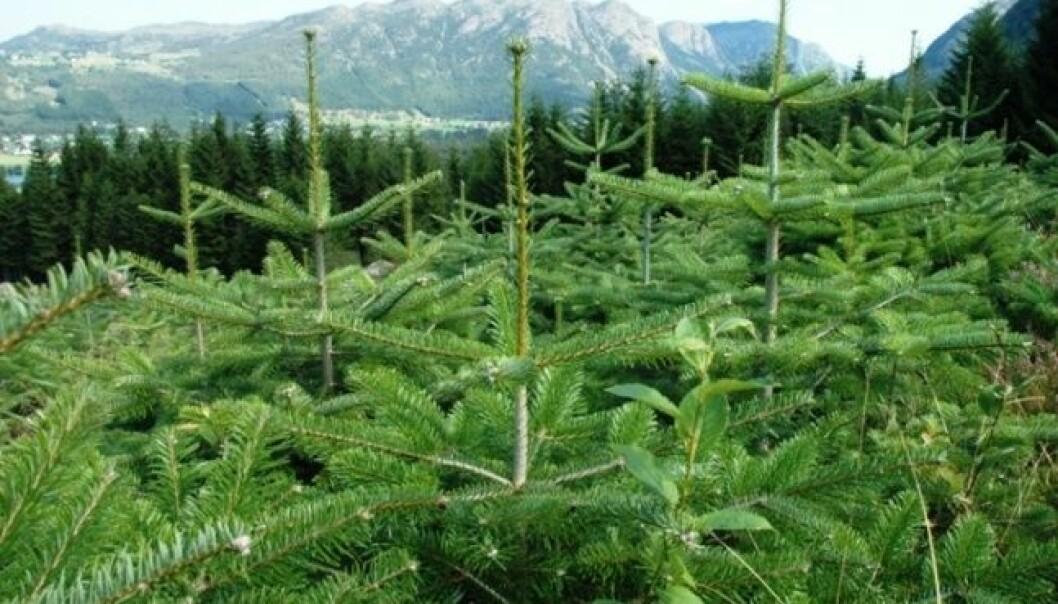 Norske juletrær i skuddet