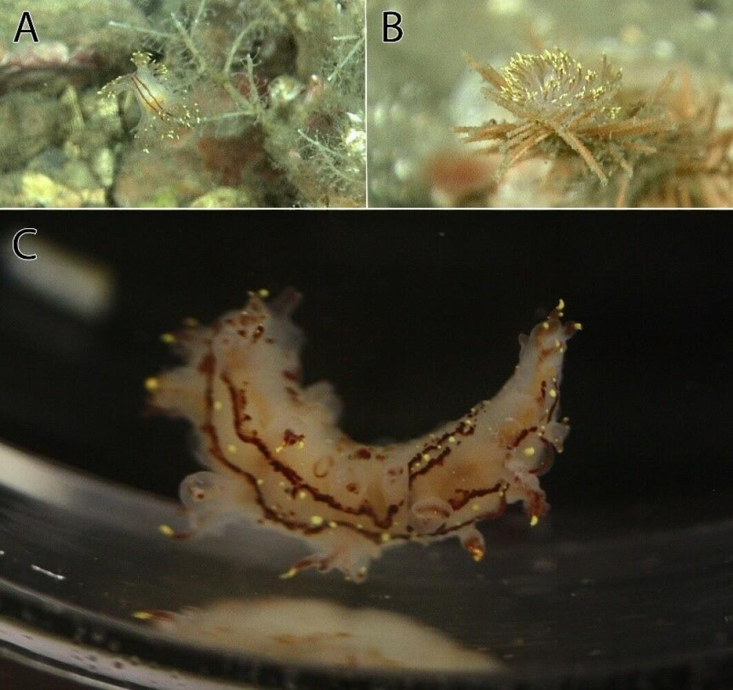 Bilder av det vi tror er Dendronotus yrjargul; A og B er fra video og viser sneglen sittende på ulike hydroider sett fra ryggsiden (A) og baksiden (B), mens bilde (C) er tatt om bord før fiksering.