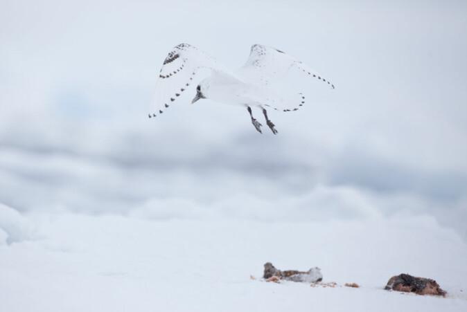 Ismåken er avhengig av drivisen for å finne mat. Men når havisen krymper, forsvinner også noe av livsgrunnlaget til fuglen.
