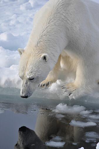 Havisen smelter så raskt at flere dyr ikke har muligheten til å tilpasse seg.