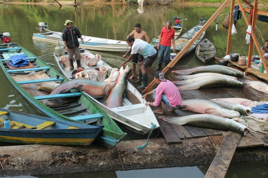 Lokalbefolkningen har etablert et bærekraftig kvotefiske av den enorme ferskvannsfisken pirarucu.