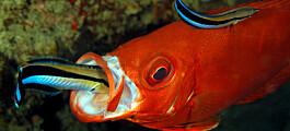 Denne fisken venter med å jukse til partneren ikke ser det