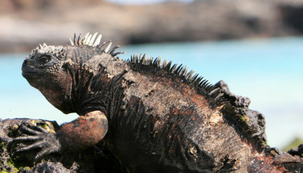 Iguan (Foto: iStockphoto)