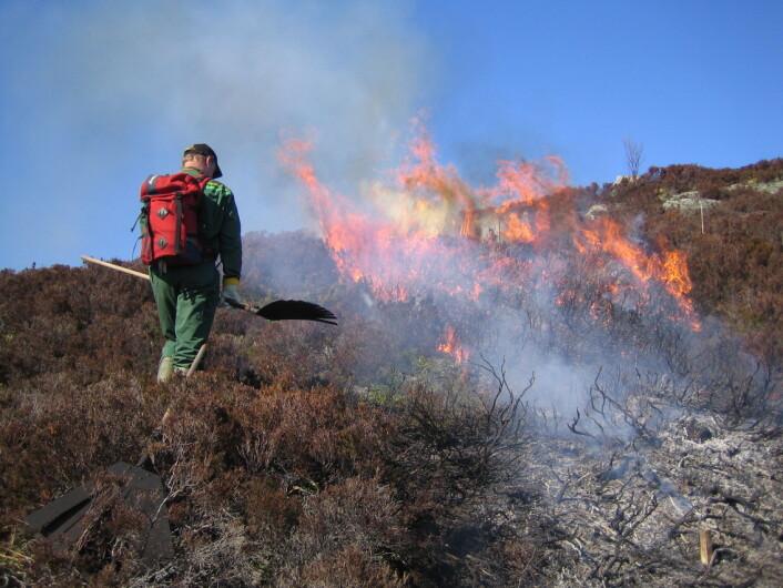 Brenning er en del av regelmessig skjøtsel for kystlyngheiene. (Foto: Jon Schärer)