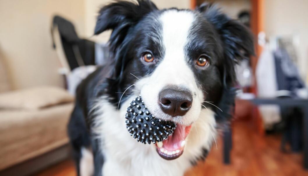 Border collie er kjent for å være en intelligent hunderase.