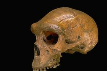 """Homo heidelbergensis, muligens forfar til både Homo sapiens og Homo neandertalensis."""