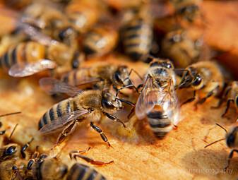 Bier på landet må fly lenger etter mat enn bier i byen