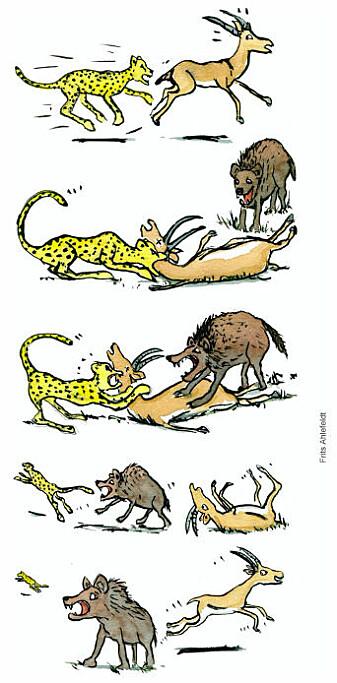 Geparden nedlegger en impala, som spiller død. En hyene forsøker å overta byttet og jager vekk geparden, og da slipper impalaen unna. Tegningen illustrerer de evolusjonære fordelene med å spille død.