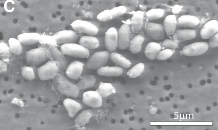 Bilde i elektronmikroskop av bakterien GFAJ-1. (Foto: Science/AAAS)