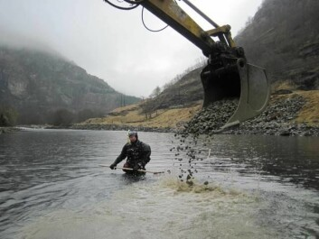 På vanskelig tilgjengelige steder brukes helikopter til å legge ut gytegrus. Her i Aurlandselva gjør gravemaskinen jobben, mens forskeren i dykkedrakt står klar til å rake. (Foto: Tore Wiers, Uni Miljø)