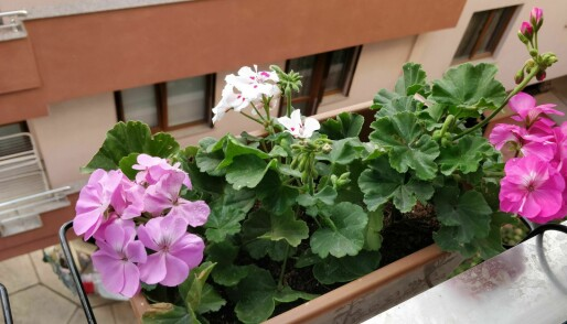 This plant's perfume can affect your health