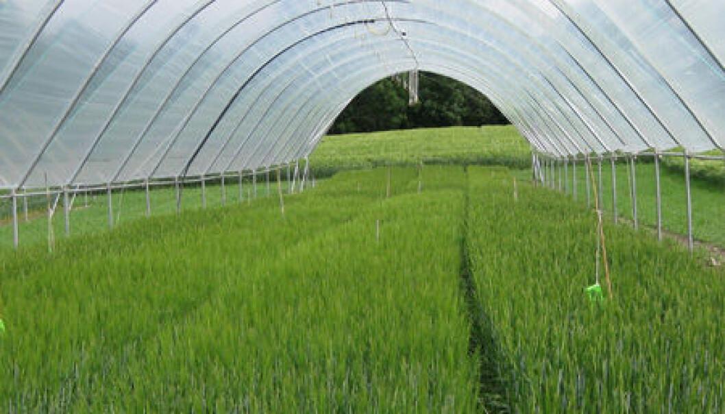Ved Bioforsk Øst Apelsvoll på Toten legges kornfelt i tunell for å finne ut hvordan klimaendringer kan påvirke kornkvalitet. (Foto: Unni Abrahamsen)