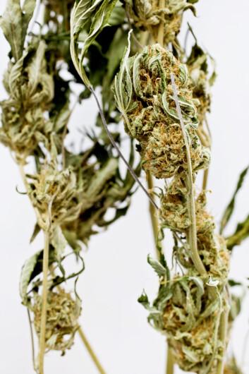 Det er ikke Cannabis i seg selv som er årsaken til mer villet egenskade blant ungdom. De som bruker det er mer problembelastet enn ungdom generelt.