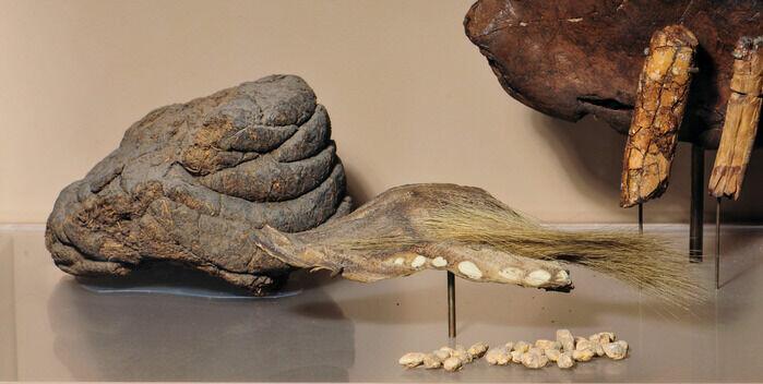 """Avføring og hår fra <span class="""" italic"""" data-lab-italic_desktop=""""italic"""">Mylodon darwini </span>utstilt ved American Museum of Natural History."""