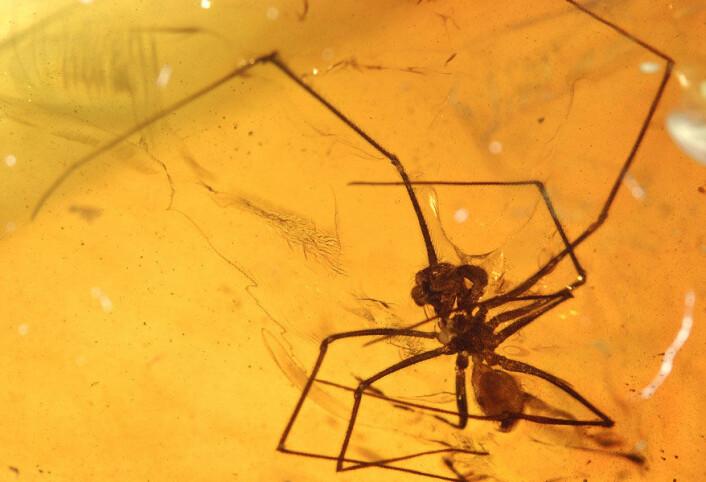 """""""En 50 millioner år gammel edderkopp funnet i ravforekomstene i Cambay i India. (Foto: David Grimaldi/AMNH)"""""""