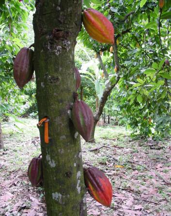 Kakafrukene vokser ut fra stammen, og rommer kakaobønner på innsiden. (Foto: Mark Guiltinan, Penn State)