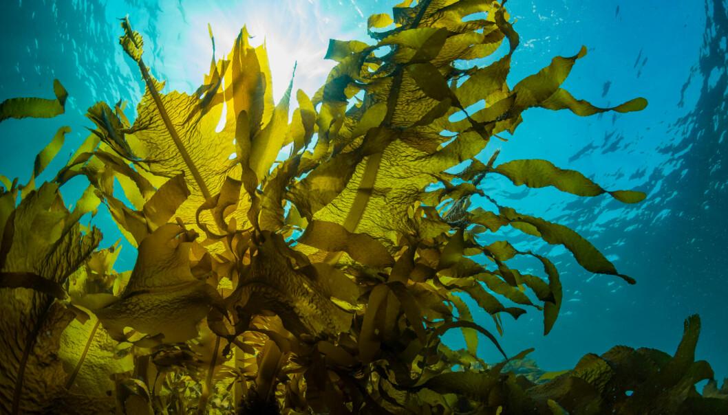 Til og med kjente restauranter har fått øynene opp for tare som vokser i havet.