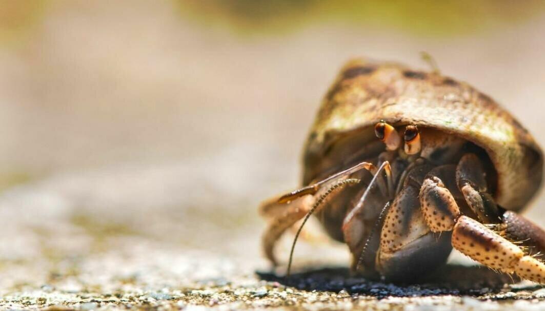 Eremittkreps er avhengig av å dekke til sitt myke bakparti med et skall, og må ha større sneglehus etter hvert som den vokser.