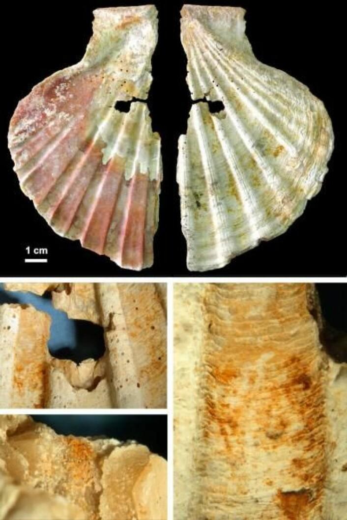 """""""På det øverste bildet kan man se etgjennomhullet skjell. Her ser duden indre, naturlig røde siden, og denytre, hvitaktige siden som ermalt med en oransjfarge frastoffene goethitt og hematitt,tror forskerne. De gravde ut skjellene i områdene Cueva de los Aviones og Cueva Antón i sørøst- Spania.(Foto:PNAS)"""""""