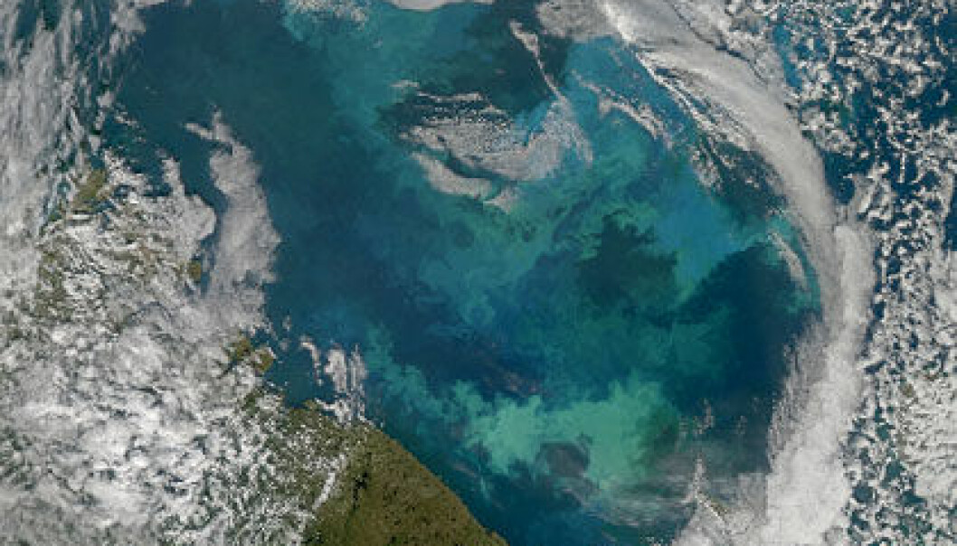 Algeblomstring i Barentshavet. (Foto: Norman Kuring/NASA Ocean Color Group)