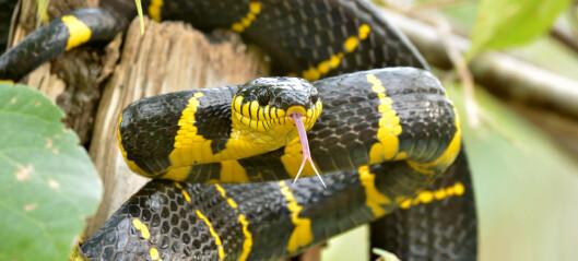 Dagens slanger kan ha oppstått omtrent da meteoritten som utryddet dinosaurene traff jorda