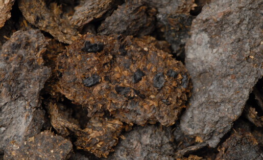2.700 år gammel avføring inneholder spor av blåmuggost og øl
